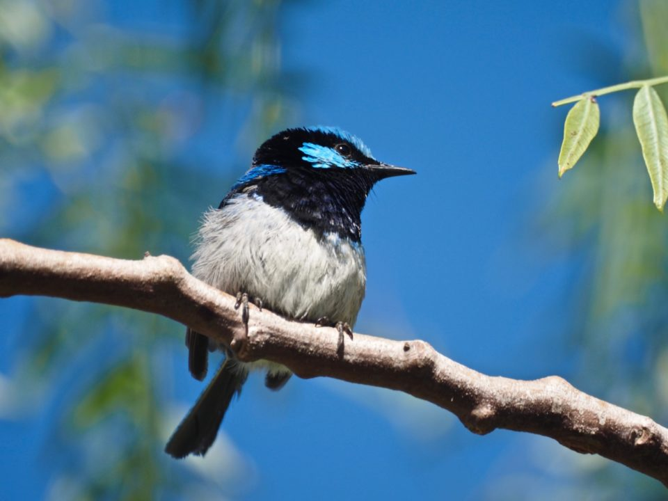 Superb fairy wren2